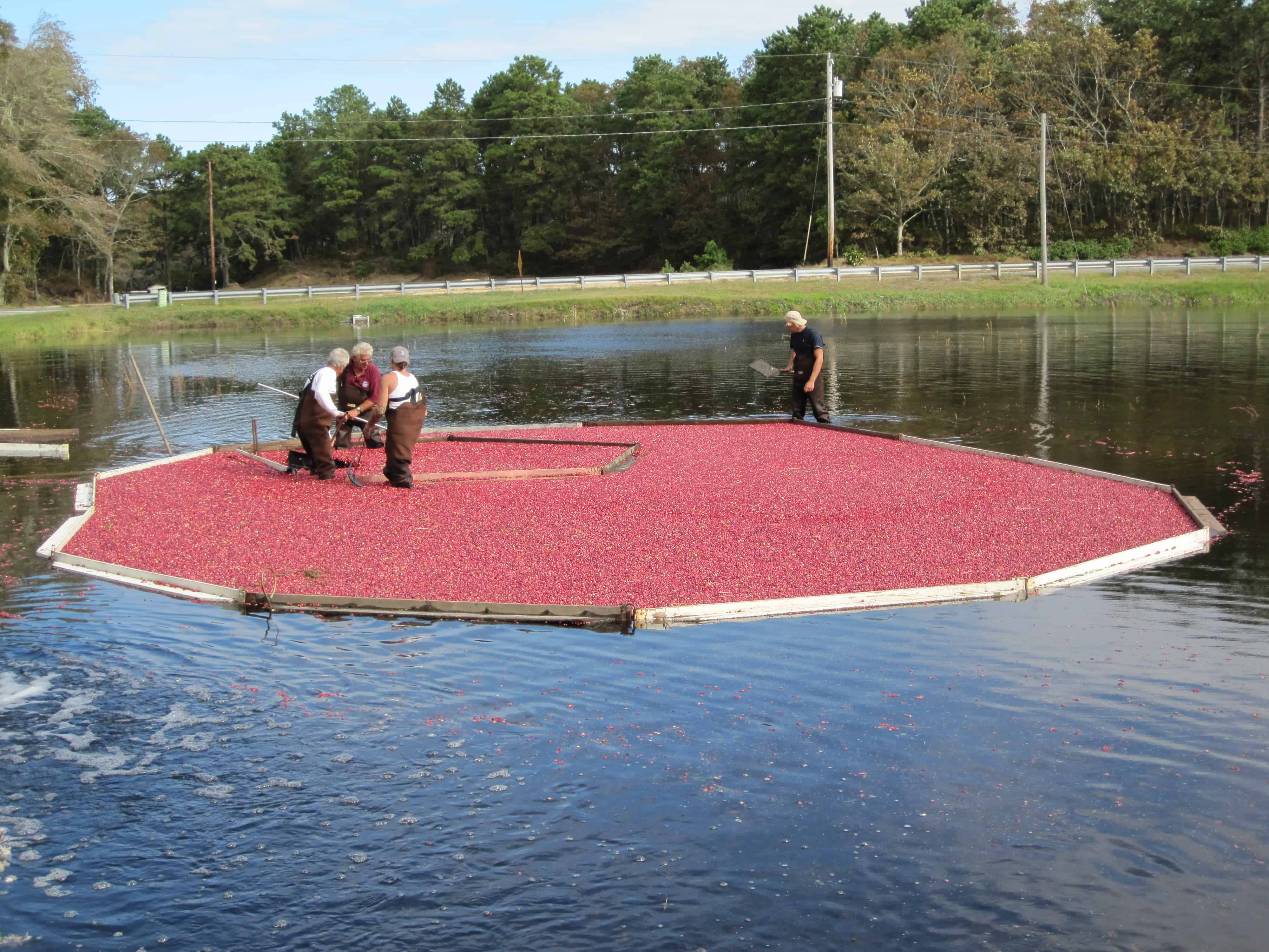 Cape cod cranberry harvest harwich remains the best - What is a cape cod ...