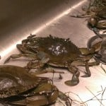 Blue Crabbing on Cape Cod