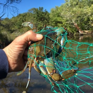 Blue Crabbing