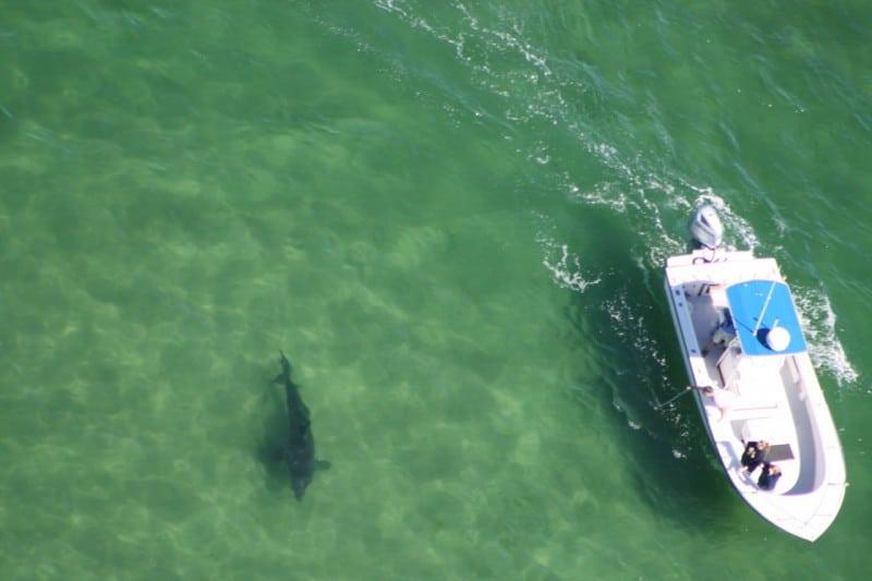 Cape Cod Shark